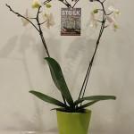 Phalaenopsis coeur
