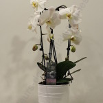 Phalaenopsis retombante